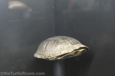 Preserved Emydoidea blandingii (Blanding's Turtle) Shell