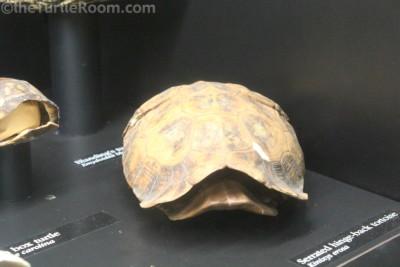Preserved Kinixys erosa (Serrated Hingeback Tortoise) Shell