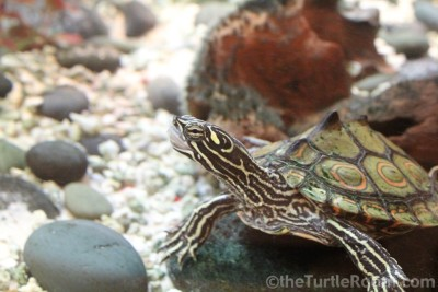 Adult Male Graptemys oculifera (Ringed Map Turtle)