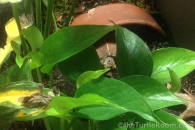 Adult Male Geoemyda spengleri (Vietnamese Black-Breasted Leaf Turtle)