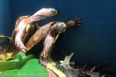 Adult Geoemyda spengleri (Vietnamese Black-Breasted Leaf Turtle)