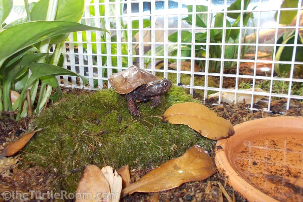Yearling Geoemyda spengleri (Vietnamese Black-Breasted Leaf Turtle)