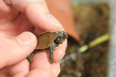 Hatchling Geoemyda spengleri (Vietnamese Black-Breasted Leaf Turtle)