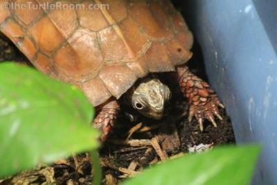 Adult Female Geoemyda spengleri (Vietnamese Black-Breasted Leaf Turtle)