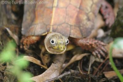 Adult Male Geoemyda spengleri (Black-Breasted Leaf Turtle)