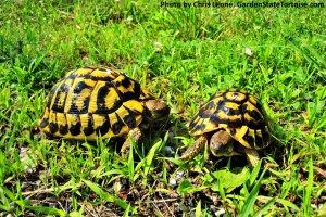 Adult Female Testudo hermanni hermanni (Western Hermann's Tortoise) from Sicily, Italy - GardenStateTortoise.com
