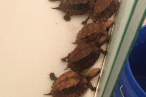 Adult Cuora mouhotii obsti (Southern Keeled Box Turtles)
