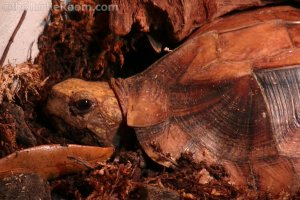 Adult Cuora mouhotii obsti (Southern Keeled Box Turtle)