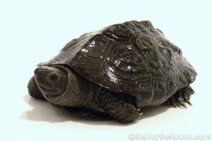 Adult Male Mauremys reevesii (Chinese Pond Turtle)