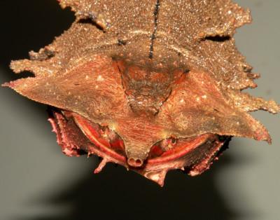 Juvenile Matamata Turtle (Chelus fimbriata)