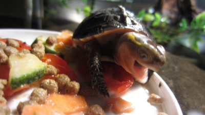 Juvenile Chinese Box Turtle (Cuora flavomarginata)