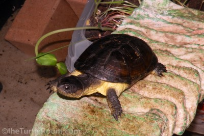 Adult Female Pelusios nanus (African Dwarf Mud Turtle)