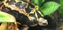 Young Spider Tortoise (Pyxis arachnoides)