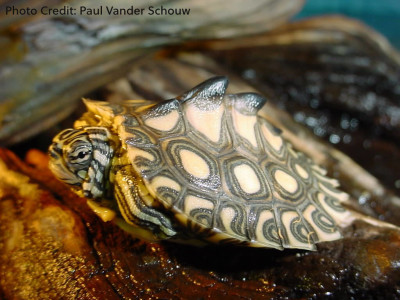 Hatchling Graptemys flavimaculata (Yellow-Blotched Map Turtle) - Photo Credit: Paul Vander Schouw