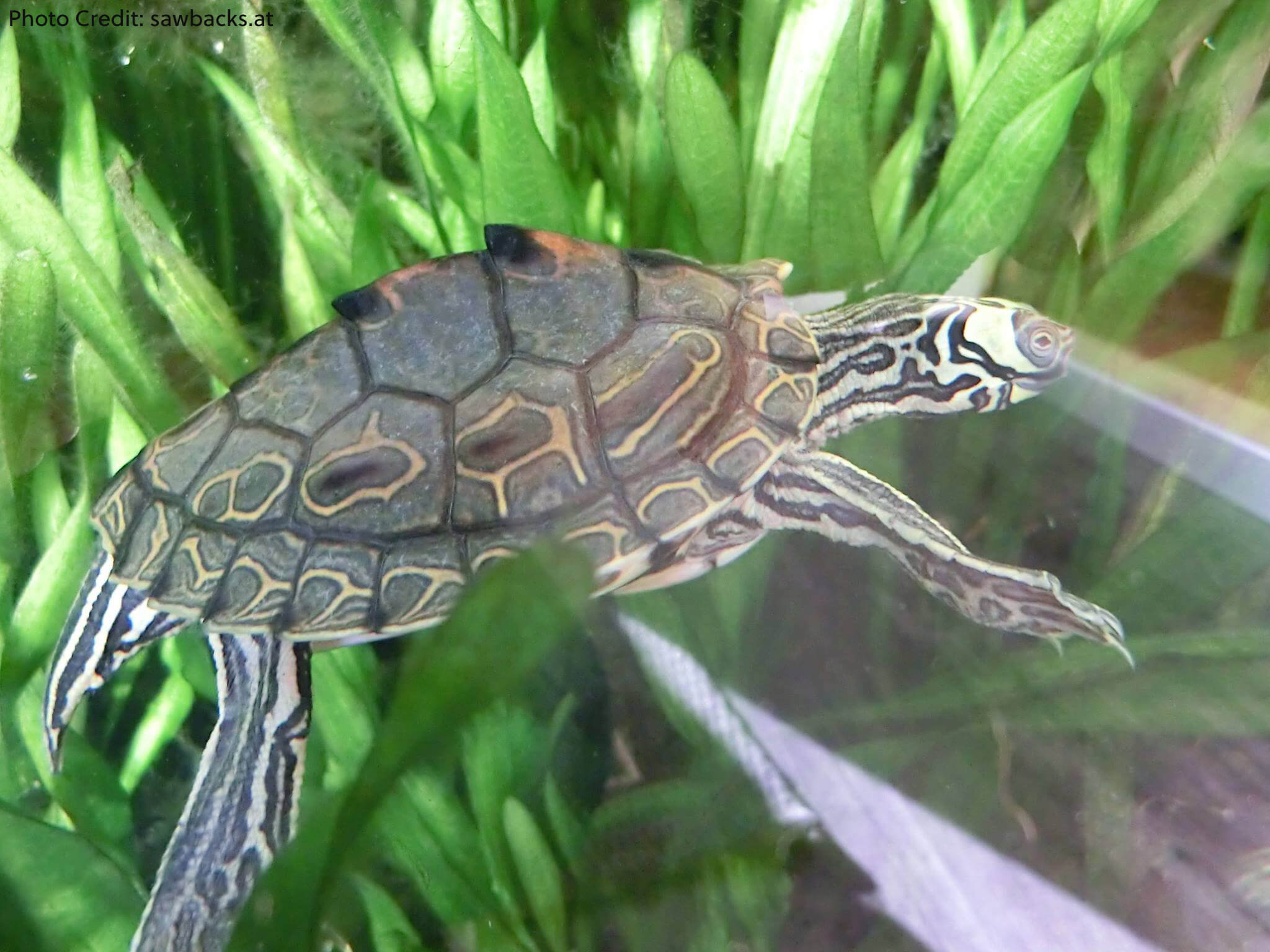 Adult Male Graptemys barbouri (Barbour's Map Turtle) - Photo Credit sawbacks.at