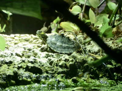 Yearling Graptemys barbouri (Barbour's Map Turtle) - Photo Credit sawbacks.at