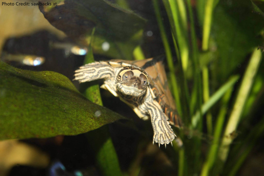 Adult Male Graptemys gibbonsi (Pascagoula Map Turtle) - Photo Credit: sawbacks.at