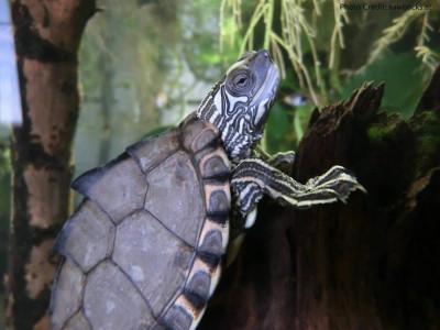 Adult Male Graptemys gibbonsi (Pascagoula Map Turtle) - Photo Credit: sawbacks.at