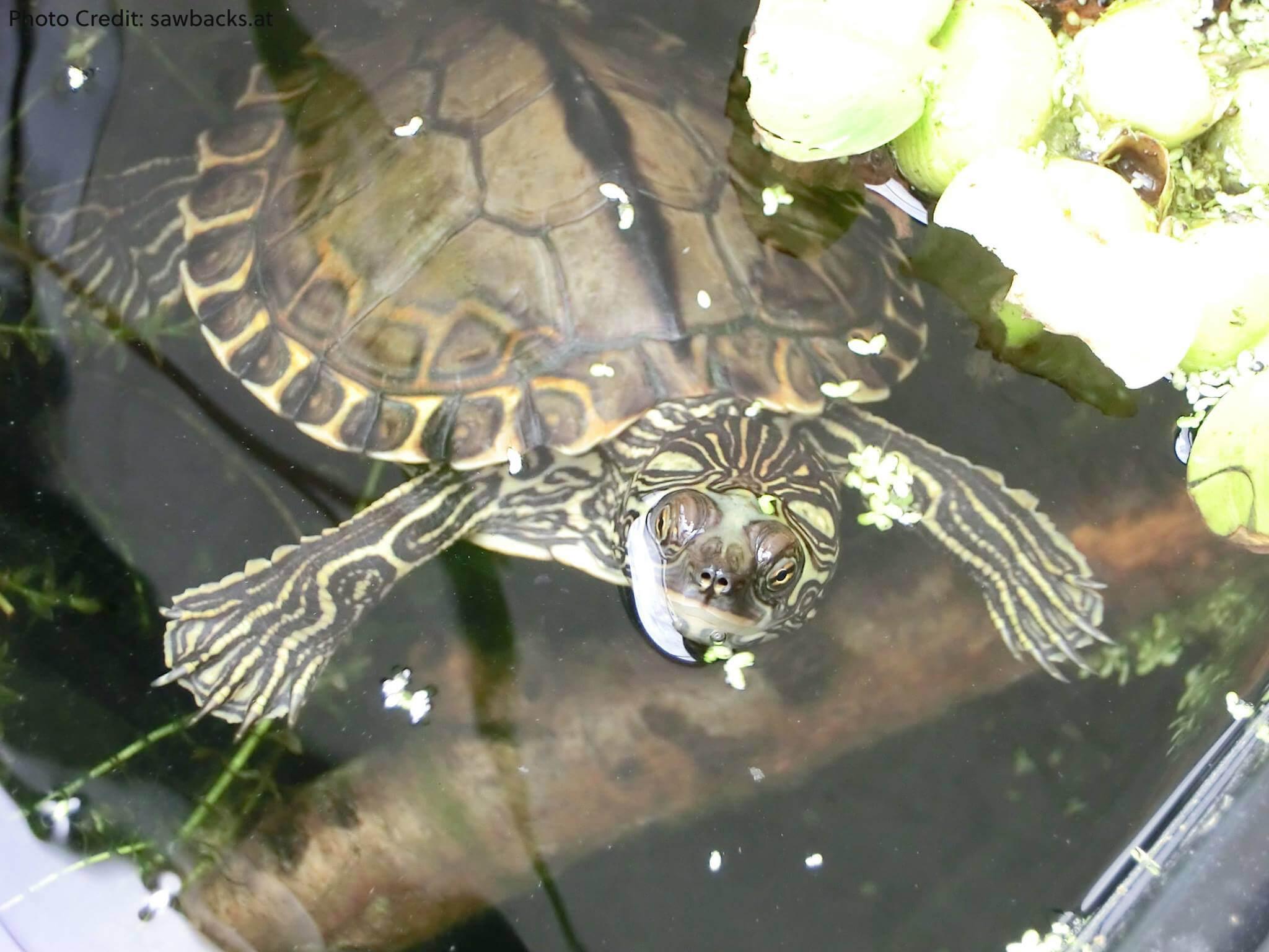 Sub-Adult Female Graptemys gibbonsi (Pascagoula Map Turtle) - Photo Credit: sawbacks.at