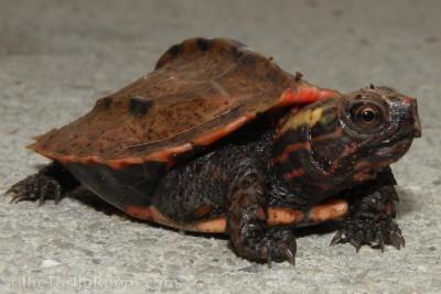 Hatchling Geoemyda japonica (Ryukyu Black-Breasted Leaf Turtle)