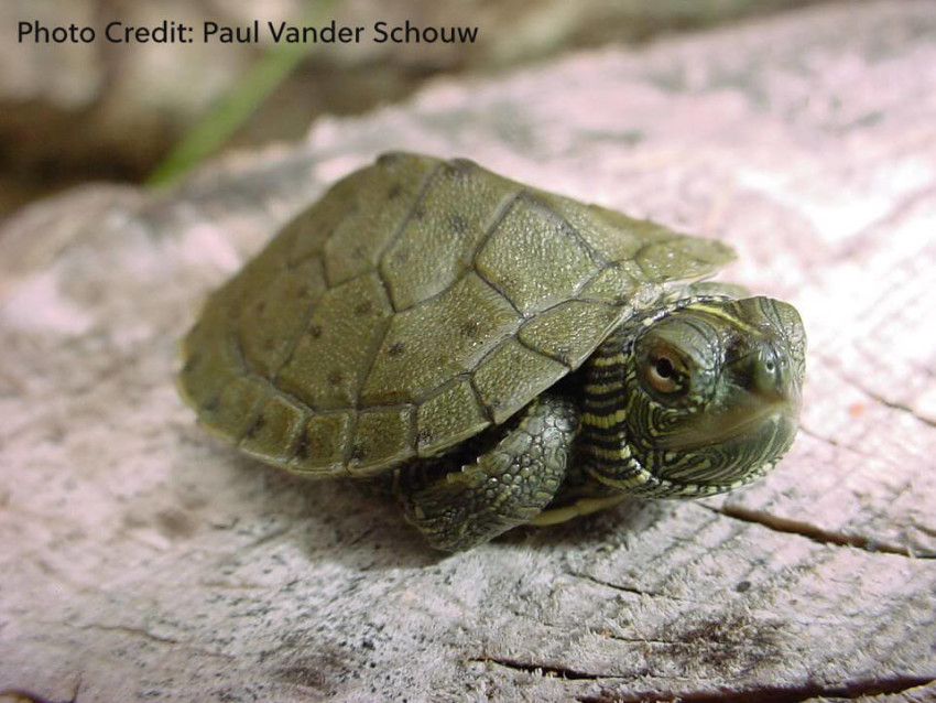 Hatchling Graptemys geographica (Northern Map Turtle) - Photo Credit: Paul Vander Schouw