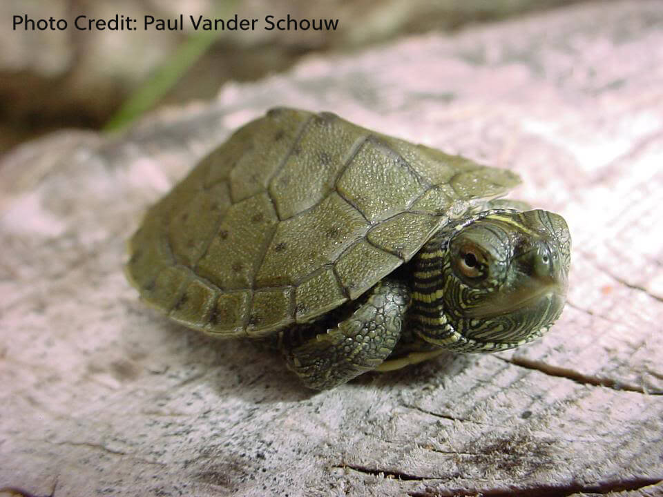 Graptemys geographica (Northern Map Turtle) - Paul Vander Schouw