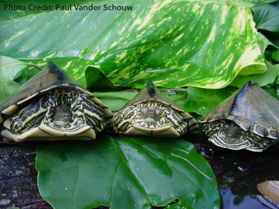 Adult 1.2 Graptemys pearlensis (Pearl River Map Turtle) - Photo Credit: Paul Vander Schouw