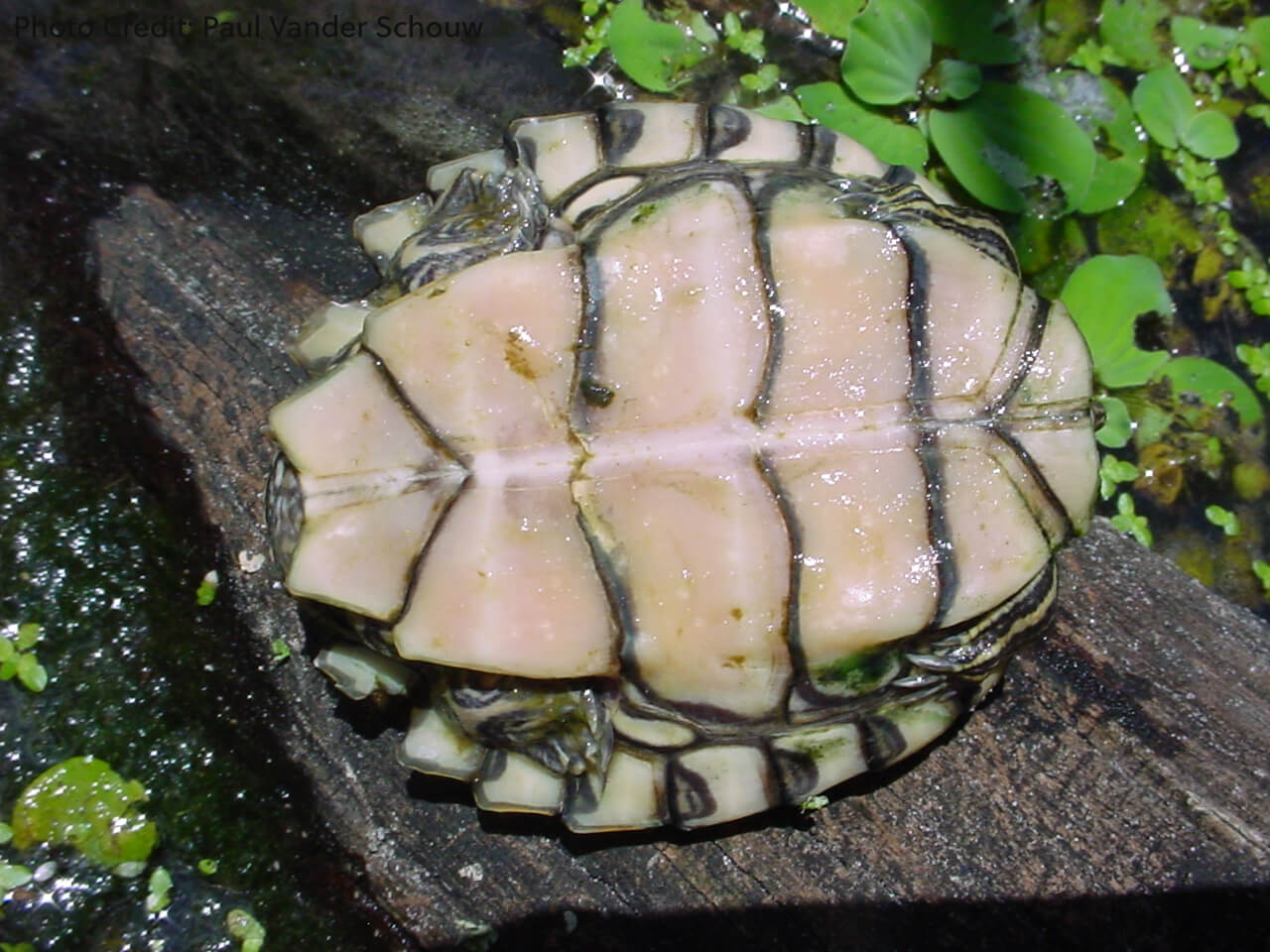 Juvenile Graptemys pearlensis (Pearl River Map Turtle) - Photo Credit: Paul Vander Schouw