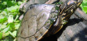 Adult Male Graptemys pulchra (Alabama Map Turtle) - Photo Credit: Paul Vander Schouw