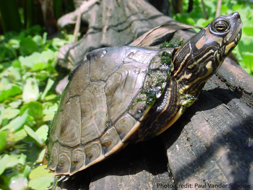 Adult Male Graptemys pulchra (Alabama Map Turtle) - Photo Credit: Paul Vander Schouw