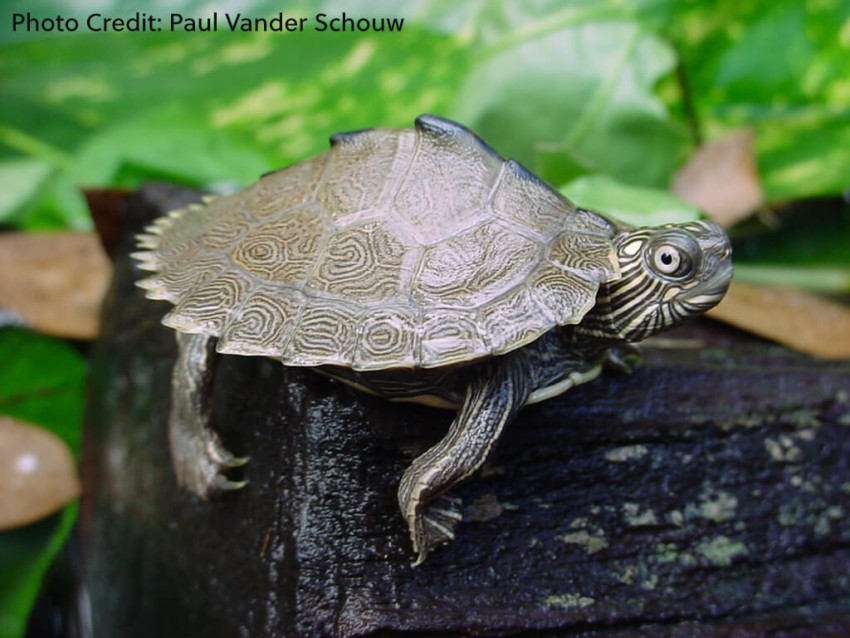 Hatchling Graptemys sabinensis (Sabine Map Turtle) - Photo Credit: Paul Vander Schouw