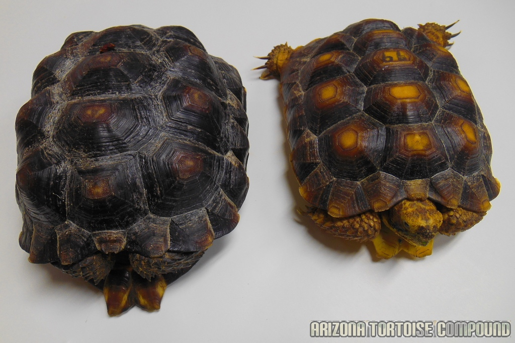 Right - Gopherus berlandieri (Texas Tortoise); Left - Gopherus morafkai (Sonoran Desert Tortoise)