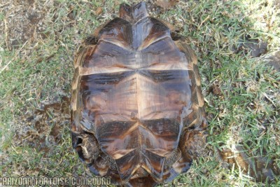 Adult Gopherus berlandieri (Texas Tortoise)
