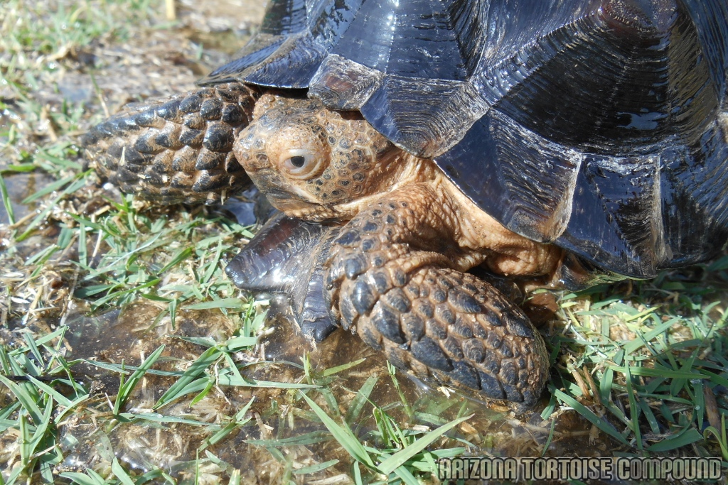 Gopherus berlandieri (Texas Tortoise)