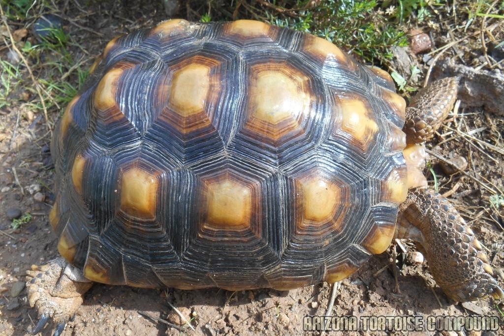 Adult Gopherus morafkai (Sonoran Desert Tortoise)