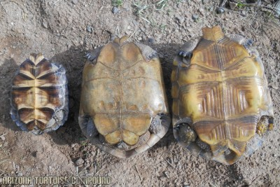 Right - Gopherus morafkai (Sonoran Desert Tortoise); Center - Gopherus agassizii (Mojave Desert Tortoise); Left - Gopherus berlandieri (Texas Tortoise)