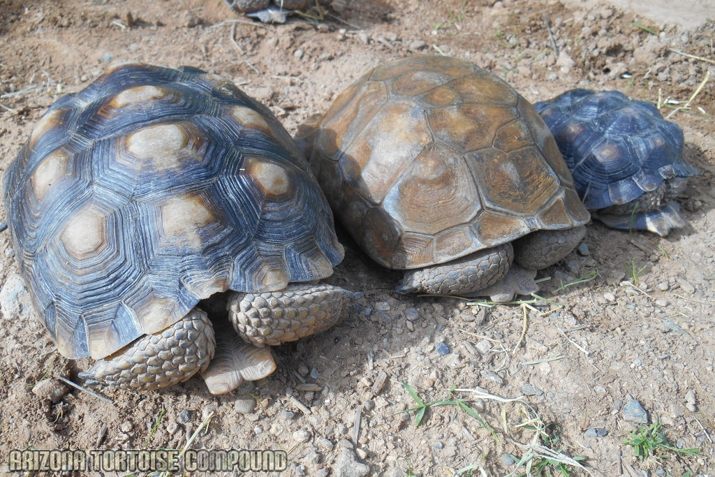 Left - Gopherus morafkai (Sonoran Desert Tortoise); Center - Gopherus agassizii (Mojave Desert Tortoise); Right - Gopherus berlandieri (Texas Tortoise)