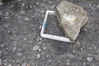 Predator-proofed Glyptemys insculpta (North American Wood Turtle) nest cage with rock for shade
