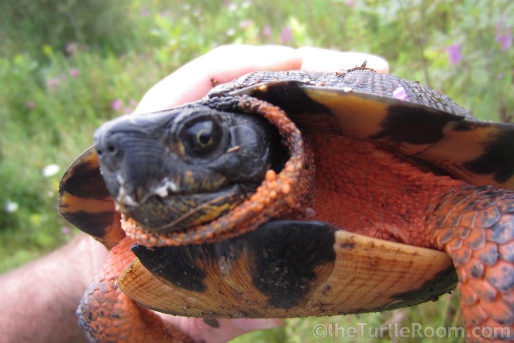 Adult female Glyptemys insculpta (North American Wood Turtle) after slug breakfast
