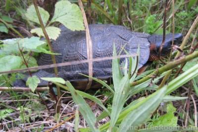 Adult female Glyptemys insculpta (North American Wood Turtle) in habitat