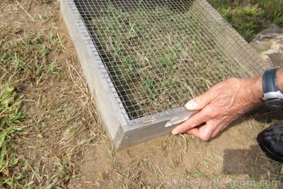 Predator-proofed Terrapene carolina carolina (Eastern Box Turtle) nest cage