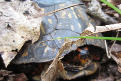 Adult Terrapene carolina carolina (Eastern Box Turtle) in habitat