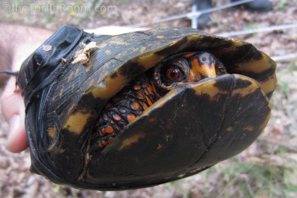 Adult Terrapene carolina carolina (Eastern Box Turtle) with transmitter
