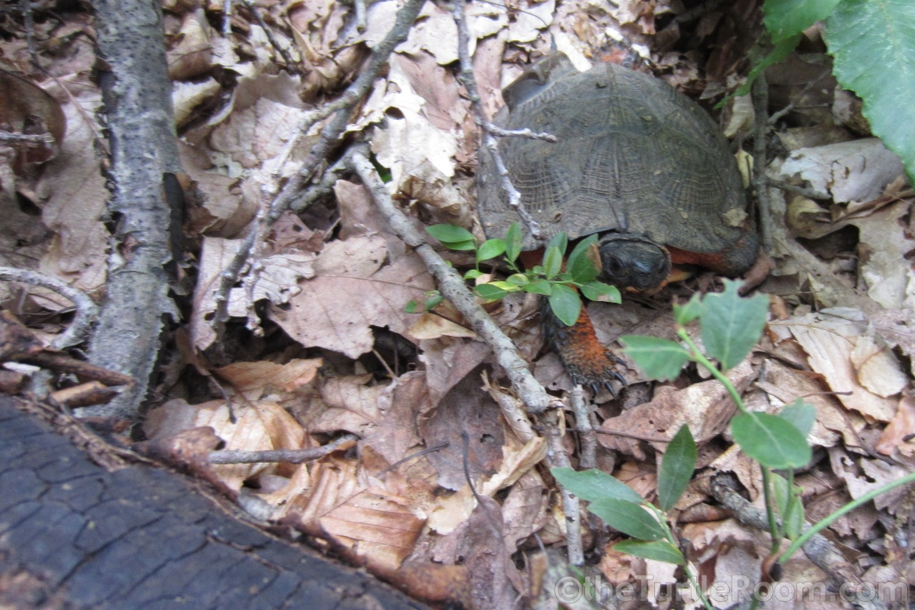 Adult Glyptemys insculpta (North American Wood Turtle) in habitat