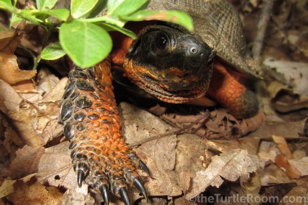 Adult Glyptemys insculpta (North American Wood Turtle)