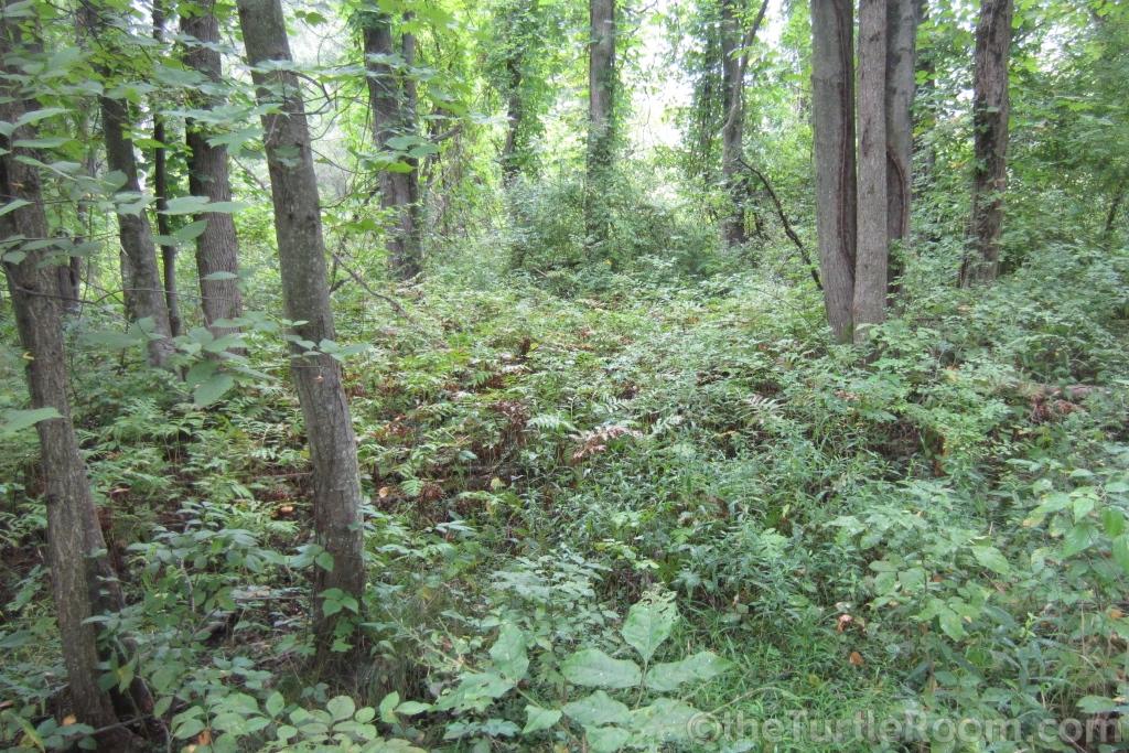 Glyptemys insculpta (North American Wood Turtle) natural habitat