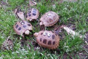 Hatchling Indotestudo elongata (Elongated Tortoise)