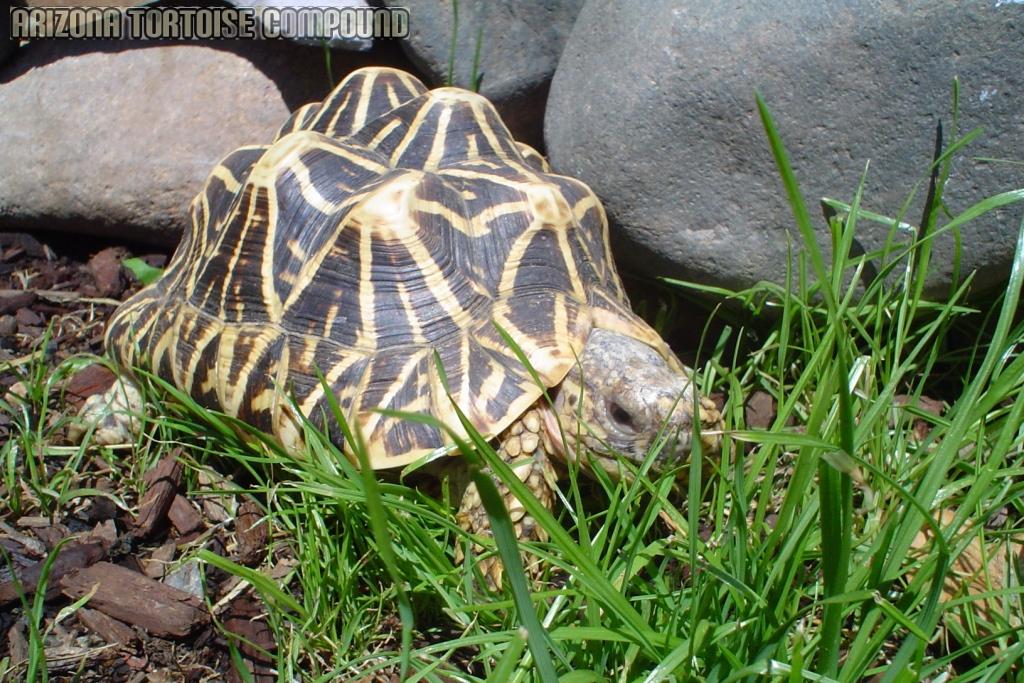 Adult Geochelone elegans, Indian variant (Indian Star Tortoise)