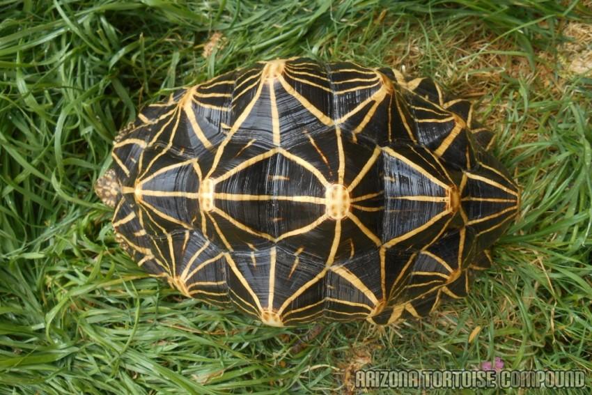 Adult Geochelone elegans, Sri Lanka variant (Sri Lankan Star Tortoise)