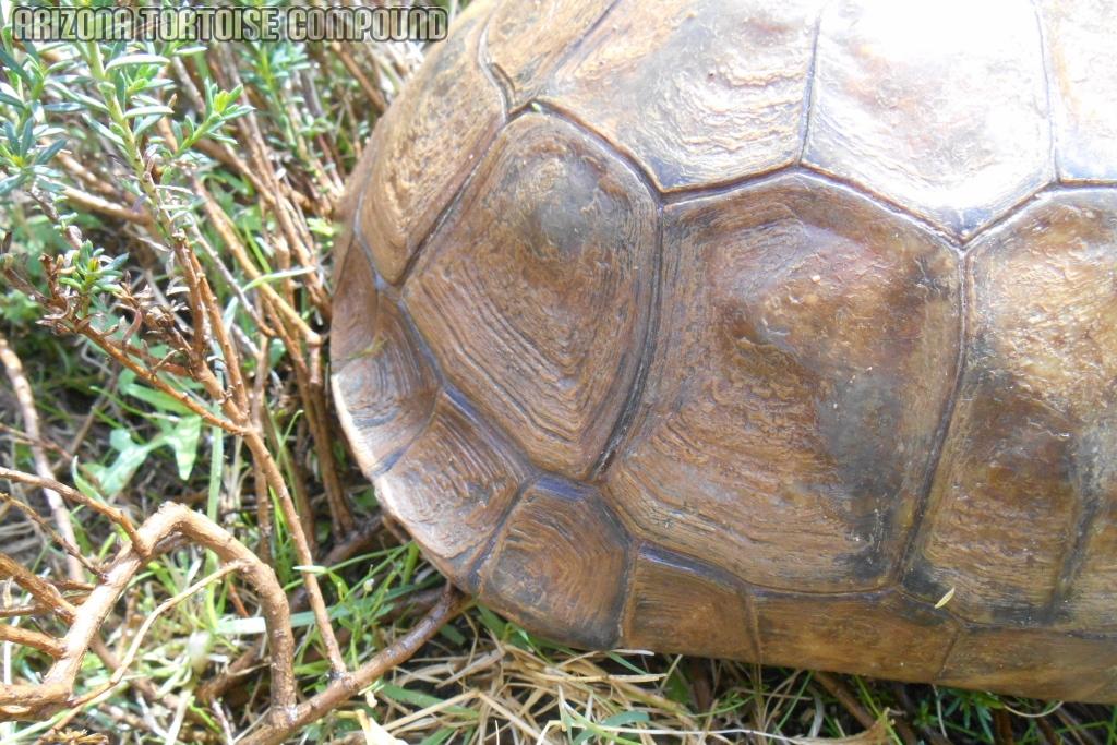 Adult Gopherus agassizii (Mojave Desert Tortoise)
